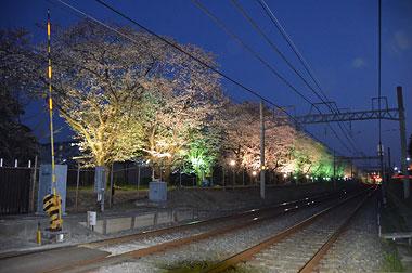 元山駅~くぬぎ山駅間の桜並木ライトアップ